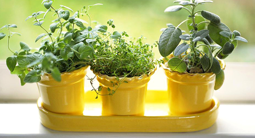 Growing Indoor Herbs Garden