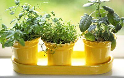 Growing Indoor Herbs Garden